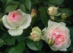 Absolute all time favorite rose -                           Pierre De Ronsard -  also known as Eden Rose