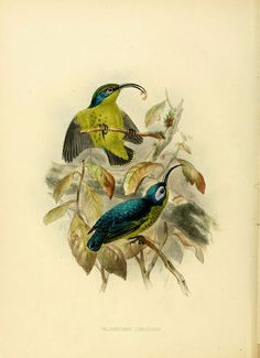 """The sense of pleasure with which I preserved my first specimens of this beautiful little species on the banks of the Nile above the First cataract, and the engaging habits of the species, impressed me so much, that on subsequent visits to the African continent I paid especial attention to the Sun-birds in each country I visited."""" [link]  [from the Introduction to 'A Monograph of the Nectariniidae' by Captain GE Shelley] by BioDivLibrary, via Flickr"""