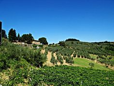 Olive trees and vineyard near Barberino Val d'Elsa