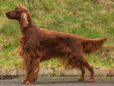 irish red setter - Yahoo Search Results