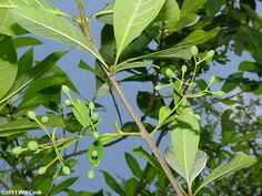 Fringetree (Chionanthus virginicus) fruits Fringe Tree, Plant Leaves, Fruit, Plants, The Fruit, Plant, Planting, Planets