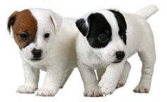 jack russell puppies :)