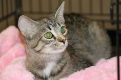 Madison is a sweet girl who was picked up at a high kill animal control in the nick of time.  She is shy, but when she warms up, wants all your love.  She loves other cats and people.  She is a love!Please email Kim at kcarter@angelsrescue.org to...