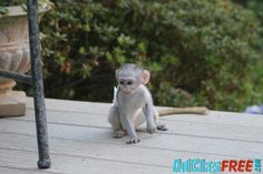 Pets Phoenix, We have Adorable Male and Female Baby capuchin Monkeys raised in our home which we want to give out for adoption.Our bab. Capuchin Monkeys, Post Free Ads, Animal Shelter, Phoenix, Garden Sculpture, Pets, Baby, Animals, Accessories