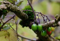 Berries | by nickcoburn62