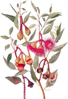 Steele Helena Eucalyptus pyriformis