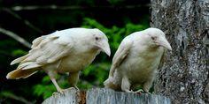 rarely seen white ravens