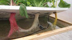 Off-Grid Hydroponics Experiment - The Kratky Method & Floating Raft Hydroponics