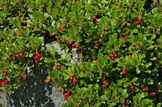 """Bearberry (Arctostaphylos uva-ursi) - up to 6"""" tall and 5'-6' wide"""