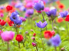 Adorable Anemones! | Flower Bulb Crazy- plant in early spring with ranunculus, soak bulbs first before planting