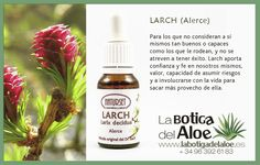 Larch (Alerce)
