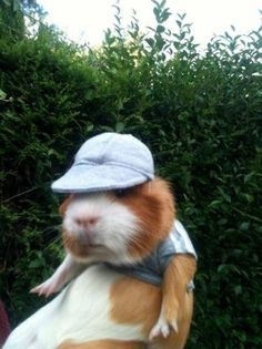 The most important guinea pigs in the world. #10:  This totally chill pig in a hat and tee.