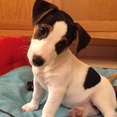JRT little princess, Jimena. Baby Puppies, Baby Dogs, Cute Puppies, Cute Dogs, Dogs And Puppies, Maltese Puppies, Doggies, Jack Russell Puppies, Jack Russell Terrier