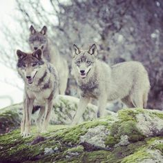 wolves..