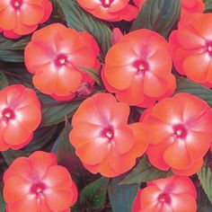 New Guinea impatiens don't get the disease, so you don't need to quit impatiens cold turkey! Besides, New Guineas are brighter, bigger, and a bit less needy when it comes to water. This is Infinity® Dark Salmon Glow - New Guinea Impatiens - Impatiens hawkeri