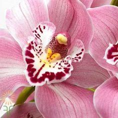 Light Pink Cymbidium Orchids, large | Wholesale Flowers & DIY Wedding Flowers Light Pink Flowers, Flower Lights, Colorful Flowers, Orchid Flowers, Cymbidium Orchids, Diy Wedding Flowers, Orchid Care, Have Time, Pink Color