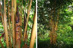 Compilation of Bamboo Seeds: Schizostachyum brachycladum 'Bali Kuning' (TH) — B. Bamboo Seeds, Seed Germination, Bamboo Garden, Mother Plant, Green Leaves, Planting Flowers, Bali, Plants, Pintura