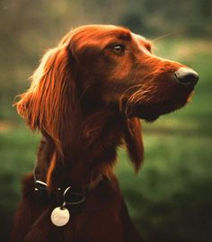 red setter. I miss my old dog :(