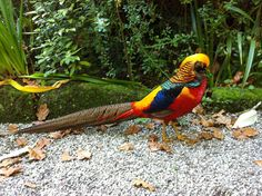Golden Pheasant in Tresco Abbey Gardens