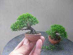 Very small bonsai