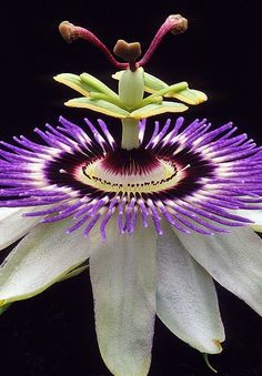 •ॢ◡-ॢ)                                                                   Passion Flower