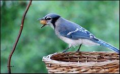 Geai bleu :-) du Québec Gray Jay, Blue Jay Bird, Pretty Birds, Beautiful Things, Aquarium, Collage, Signs, Birds, Colourful Birds