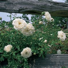 Video: How to Train a Rose on a Trellis. Watch it here http://www.finegardening.com/item/14257/video-how-to-train-a-rose-on-a-trellis#