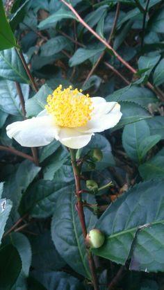Flor de plantaciones