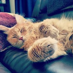 momo_the_glorious_gingercat