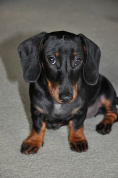"Dachshund...with ""people eyes"""