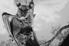 Srdjan Kirtic for Stocksy United - Black and white portrait of a giant fruit bat/flying fox hanging.  animal, bat, bats, big, black and white, chilling, close up, closeup, creature, creepy, eerie, fear, flying, flying fox, fruit bat, fur, giant, hairy, halloween, hanging, horrifying, horror, intimidating, mammal, monochrome, mysterious, nightmare, nocturnal, portrait, pose, posing, scary, shocking, spooky, terrifying, terror, vampire, weird, wild, wings