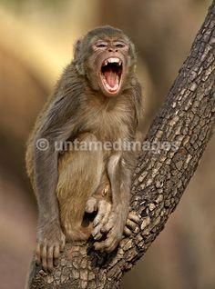 Rhesus macaque - Google Search