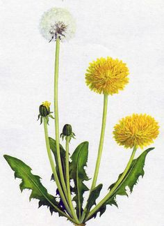 Watercolor Tips, Watercolor Illustration, Watercolor Flowers, Dandelion Drawing, Dandelion Flower, Botanical Drawings, Botanical Prints, Flower Drawings, Sharpie Art