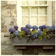 blue violet hydrangea window box white window stone grey wall by adunaphel13