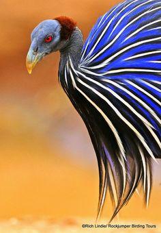 Vulturine Guineafowl : Estas aves espectaculares vão desde a Etiópia centro-sul no Quênia e na Somália, onde ela é encontrada em habitats abertos secos. Eles são aves sociáveis e gregários que fazem esta fotografia por Rich Lindie do Quênia.
