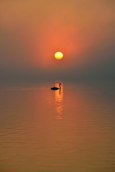 swan in morning sun by Maltan Anton
