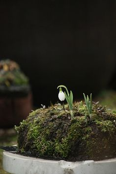 今日の苔玉一番乗りはスノウドロップ。この丘陵地帯には球根がたくさん仕込まれています。春に苔と這性の草が回って緑の丘となり、チューリップが次々に咲く・・・という…