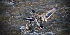Mallard Duck Napanee in March