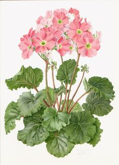 Primula obconica by Kathy Pickles