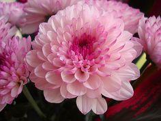 bubblegum pink dahlia