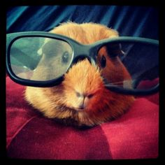 Hipster guinie pig