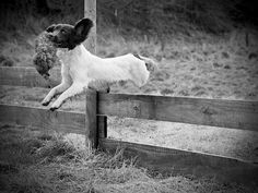 Young ESS jumping the fence with a dummy during training .