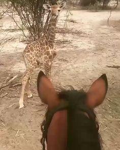 Funny Horse Videos, Funny Horses, Cute Horses, Horse Love, Funny Animal Videos, Cute Funny Animals, Beautiful Horses, Cute Baby Animals, Animals Beautiful