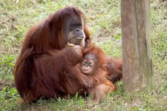 Please keep Pongo and his pals in mind when you're shopping for #Halloween candy this year. Buy only products made with sustainable (orangutan-friendly) palm oil. Click the pin for a list of orangutan-friendly candies.