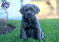 Georgie – Cane Corso Puppy www.keystonepuppies.com  #keystonepuppies #canecorso