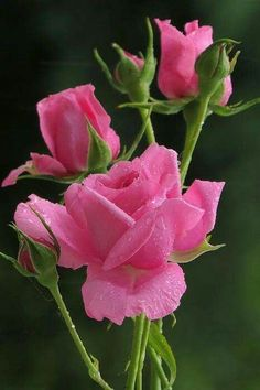 Captivating Why Rose Gardening Is So Addictive Ideas. Stupefying Why Rose Gardening Is So Addictive Ideas. Beautiful Flowers Wallpapers, Beautiful Rose Flowers, Exotic Flowers, Amazing Flowers, Pretty Flowers, Pink Flowers, Flower Petals, Flower Images, Flower Photos