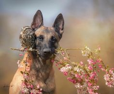 Belgian Malinois And Owl Beautiful Dogs, Animals Beautiful, I Love Dogs, Cute Dogs, Animals And Pets, Baby Animals, Unusual Animals, Cute Animal Pictures, Cute Funny Animals