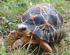 http://radiata-mania.bestcheapforum.com/t129-l-astrochelys-radiata