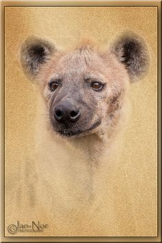 The Hyena: Grunge effect Hyena, Brown Bear, Grunge, Photography, Animals, Photograph, Animales, Animaux, Fotografie