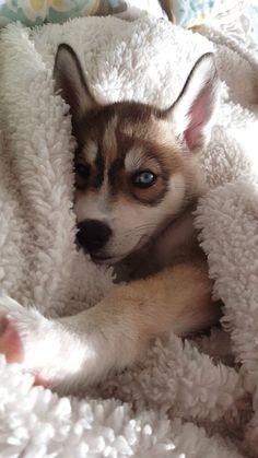 Wonderful All About The Siberian Husky Ideas. Prodigious All About The Siberian Husky Ideas. Cute Husky Puppies, Siberian Husky Puppies, Husky Puppy, Siberian Huskies, Huskies Puppies, Cockapoo Puppies, Husky Mix, Dogs Pitbull, Pomeranian Puppy